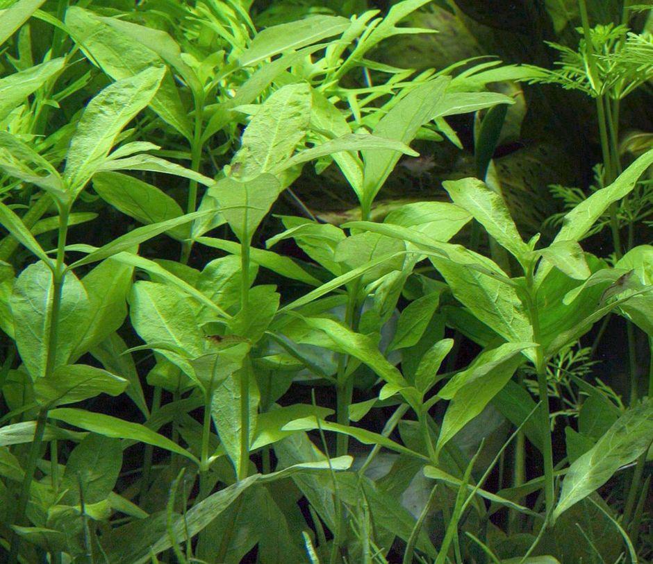 Гигрофила многосеменная (Гигрофила индийская, Болотник) (Hygrophila polysperma)