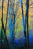 """Blue Trees"" by Robert Dunbar -- 1nd Place General B"