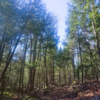 Our Hemlock Forest