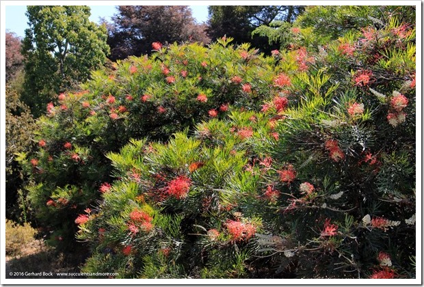 160813_UCSC_Arboretum_Grevillea-Superb_009