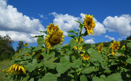 Sunflowers at Faucettes