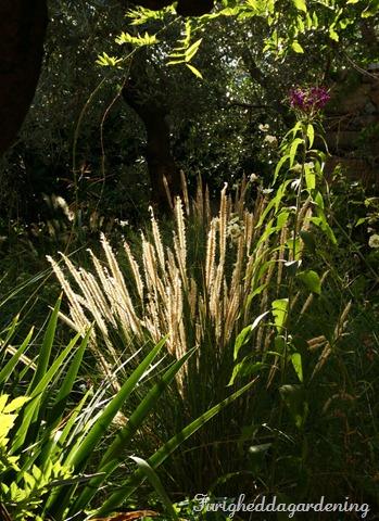 pennisetum grasses