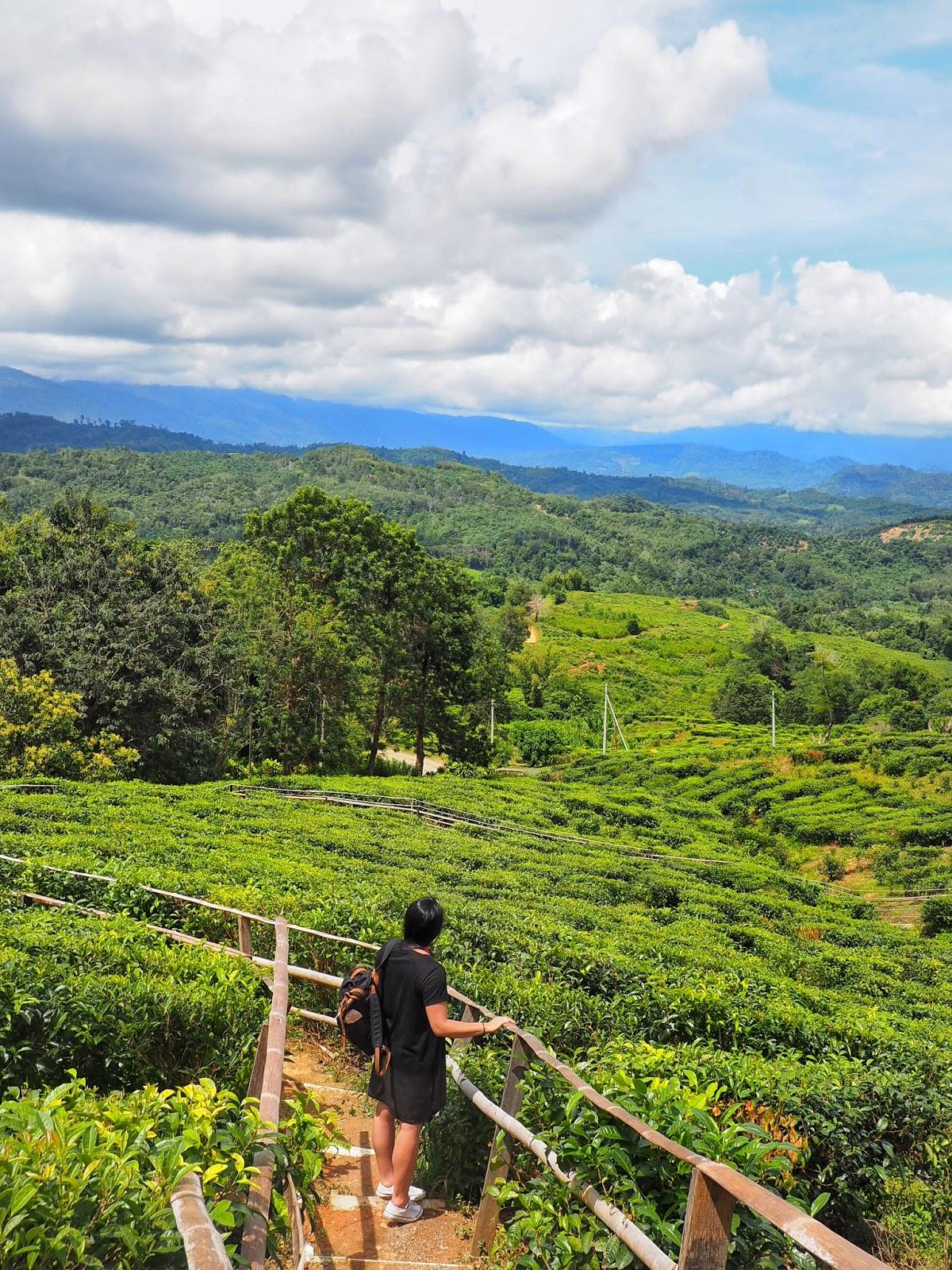 malaysia sabah tea borneo organic tea farm view ranau