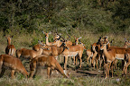 A family with Impalas, only one male taking care of all the females and childrens.