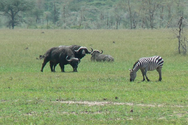 Serengeti National Park - buffalo & zebra