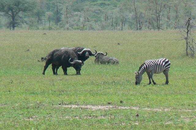 Serengeti National Park - buffalo & zebra