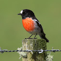 Scarlet Robin (Tasmanian)
