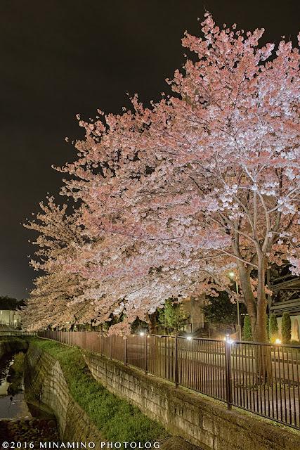 兵衛川の桜
