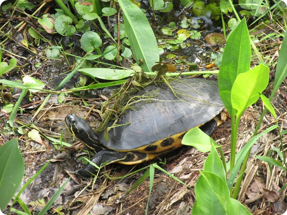 23 Van Fleet - Suwannee River Cooter Turtle