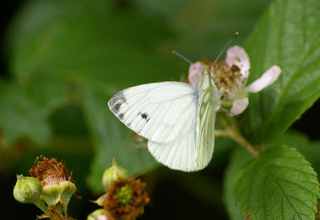Pieris napi L., 1758, mâle, seconde génération. Les Hautes-Lisières (Rouvres, 28), 20 juin 2011. Photo : J.-M. Gayman