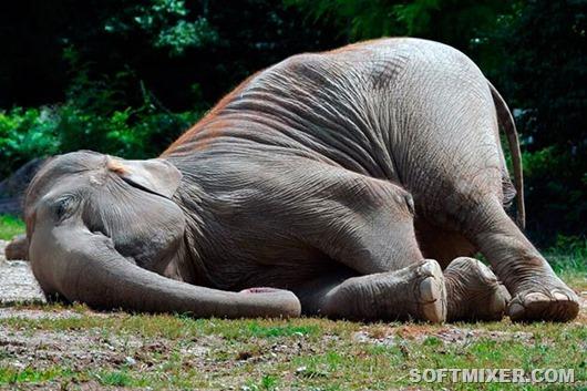 fakty-o-tom-kak-spyat-slony