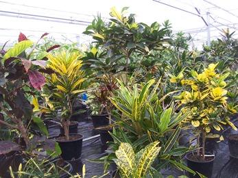 2010.08.13-011 plantes tropicales