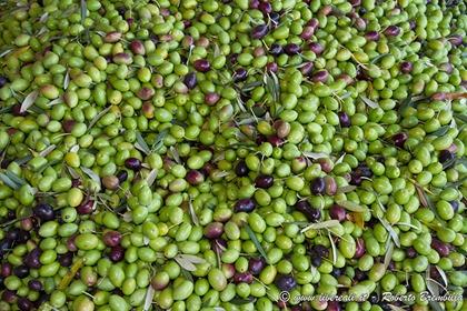 43_Frantolio-Olive-Biosio-Bellano_005