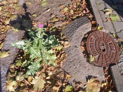 Distel auf der Straße, neben Hydrant
