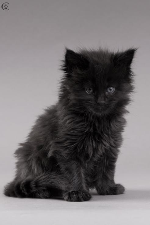 котенок мейн кун черный фото