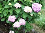 移り気な花言葉の紫陽花 2011-07-03T11:49:09.000Z
