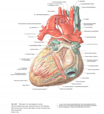 Anatomi Jantung : Pengertian, Lapisan, Ruang Jantung, Dan Katup-Katup Pada Jantung