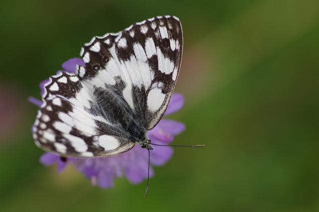 Melanargia galathea (L., 1758). Hautes-Lisières (Rouvres, 28), 8 juillet 2012. Photo : J.-M. Gayman