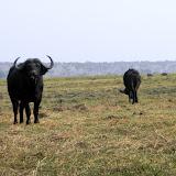 Cape Buffalo near the Chobe River