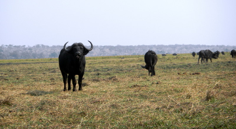 Cape Buffalo near the Chobe River