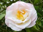 オフホワイト 弁端桃色ぼかし 牡丹咲き 中輪