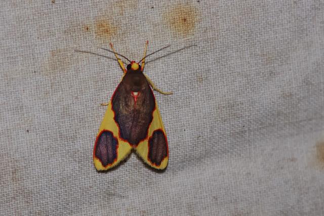 Arctiidae : Arctiinae : Trichromia perversa ROTHSCHILD, 1909. Los Cedros, 1400 m, Montagnes de Toisan, Cordillère de La Plata (Imbabura, Équateur), 18 novembre 2013. Photo : J.-M. Gayman