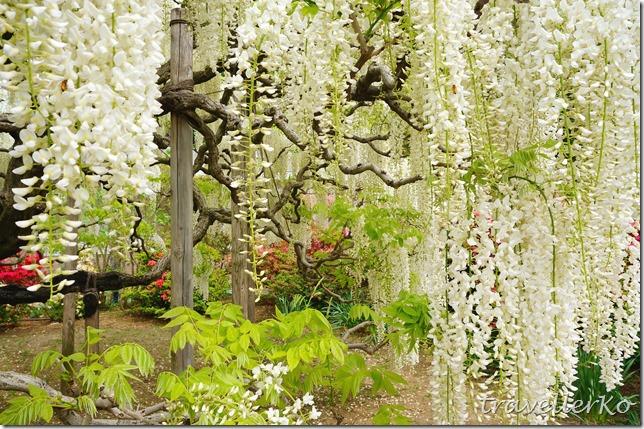 在最美的季節遇見足利紫籐花卉公園:門票交通攻略實況(下)04
