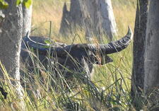 Old buffalo bull watching from the safety of the grass