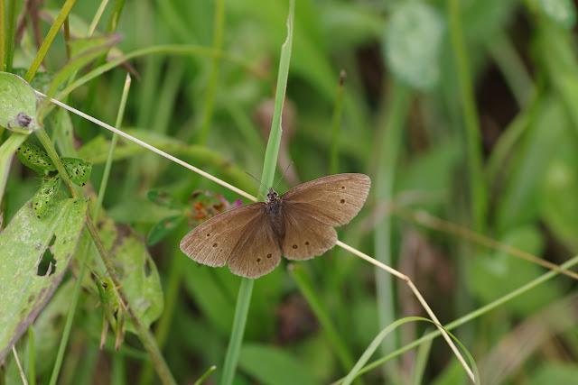 Aphantopus hyperantus (L., 1758), femelle. Chemin de La Rodé, Cocurès, 680 m (Lozère), 6 août 2013. Photo : J.-M. Gayman