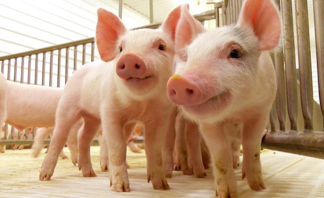 Barahona: Detectan peste porcina africana