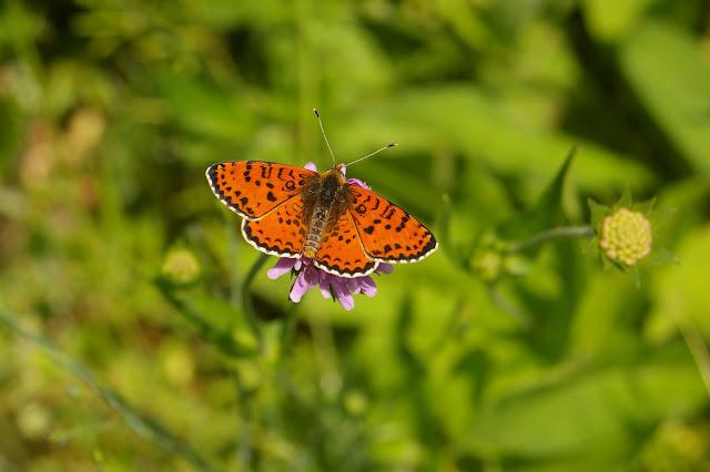 Didymaeformia didyma meridionalis STAUDINGER, 1870. Forêt de Ramondens, Montagne Noire, 950 m (Tarn), 11 juin 2005. Photo : Jean-Marc Gayman