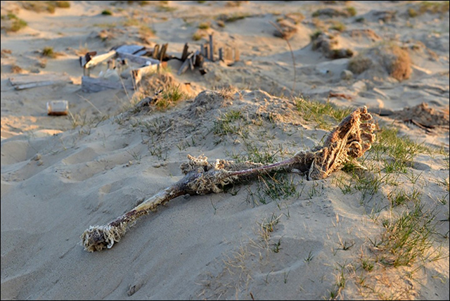 Leg of a slaughtered polar bear on Vilkitsky Island in the Kara Sea. The remains of six slaughtered polar bears, 'beheaded with their skins removed' were discovered during an expedition by the Russian Centre of Arctic Exploration in August 2017. Polar bear rugs are highly sought after in black market sales, where they can fetch around $17,000 each. The skulls of the polar bears had been removed in a way that is consistent with trophy hunters. Photo: Russian Centre for Arctic Exploration
