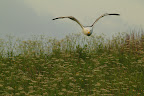 AUX ABRIS !?Le goéland marin est le plus gros des goélands avec son mètre 70 d'envergure