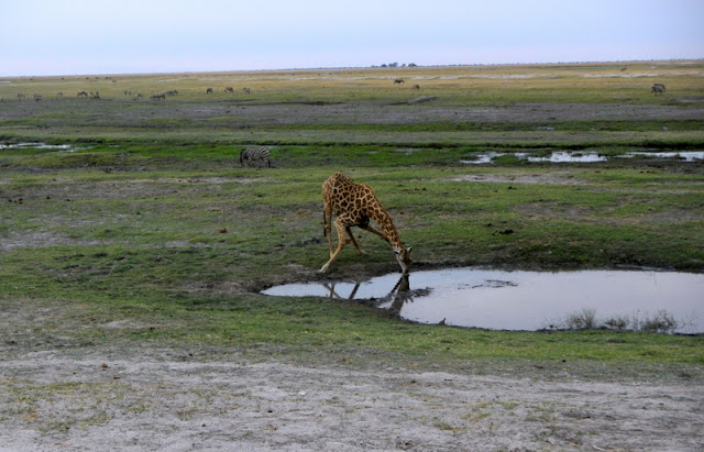 Giraffe taking a drink