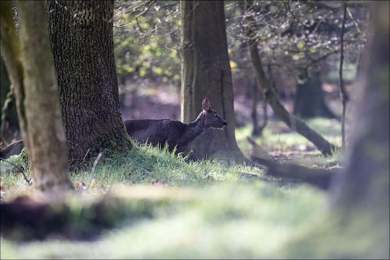 Roe Deer, Woodland Wildlife