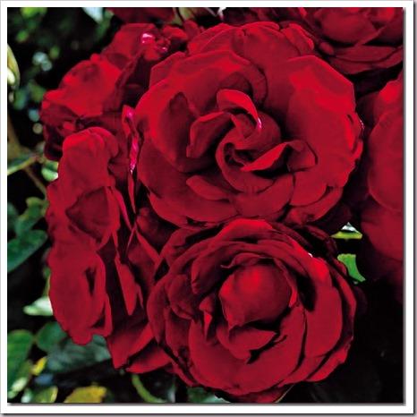 4-roses-anniversary-rose_thumb[1]