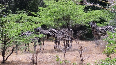 Zebra First