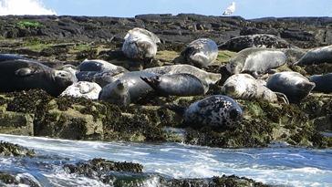 2016-08-10 Farne Islands 0213_foca grigia.MP4_snapshot_00.37_[2017.04.14_00.08.33]