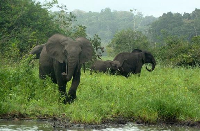 This is a small group of forest elephants in Gabon's Minkébé National Park. Poaching for the illegal ivory trade has reduced their numbers by 80 percent, according to a new study. Photo: John Poulsen / Duke University