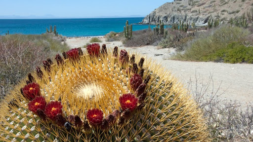 Giant Barrel Cactus, Catalina Island, Gulf of California, Mexico.jpg