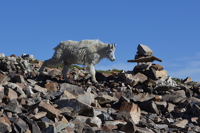 mountain goat walking past a large cairn on the trail