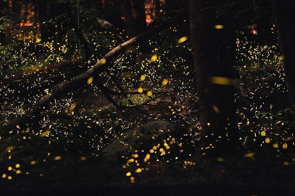 synchronous-fireflies-2