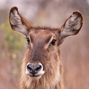 Female Waterbuck, Zambia