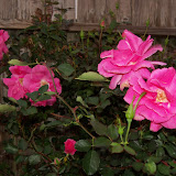 Gardening 2012 - 115_1255.JPG