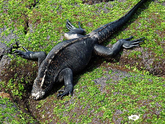 Marine iguana feeding on algae