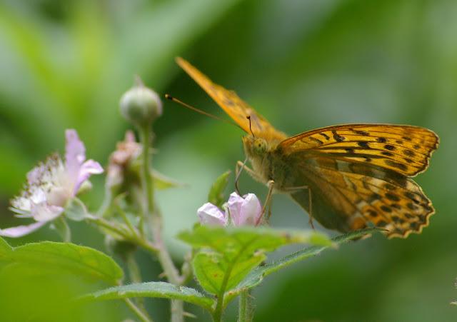 Argynnis paphia L., 1758, mâle. Les Hautes-Lisières (Rouvres, 28), 30 juin 2011. Photo : J.-M. Gayman