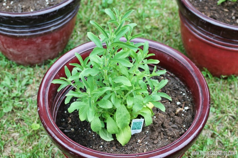 The ultimate guide to stevia! Tons of resources on how to grow & preserve the stevia plant!