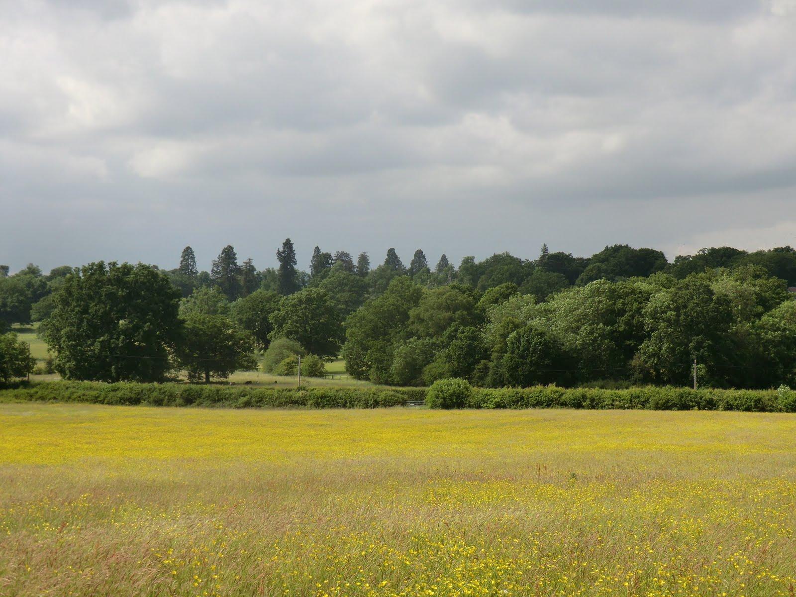 CIMG8604 Buttercup meadow, Hildenborough