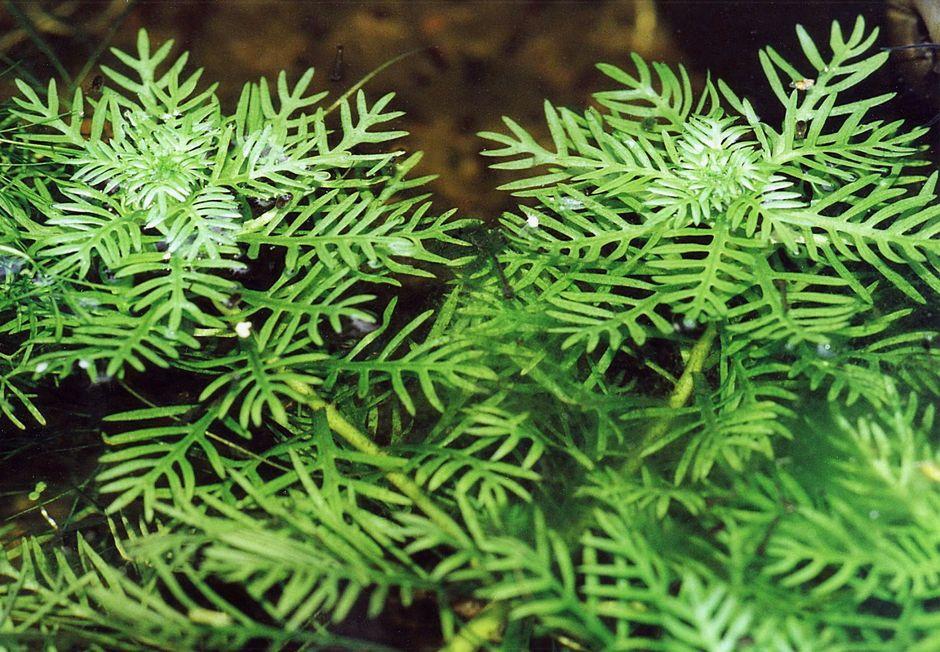 Хотония болотная (Турча болотная) (Hottonia palustris)