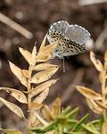 Stenurtblåfugl, orion.3.jpg